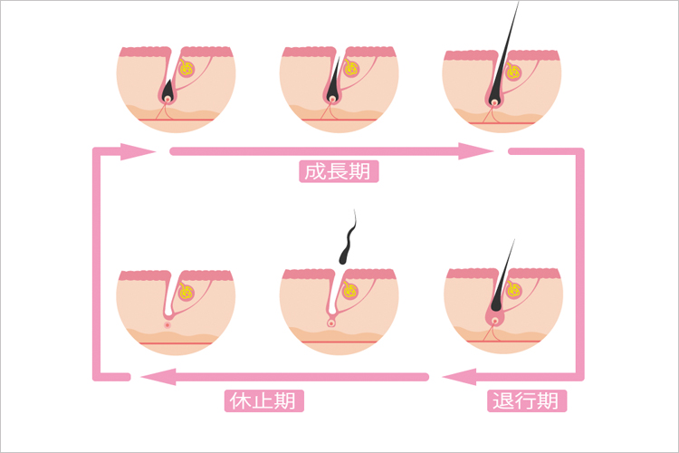 髪が伸びる時間帯のヘアサイクル